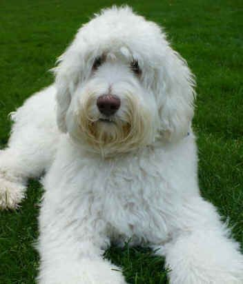 A White Labradoodle This Colour Should A Chalky Shade Of White