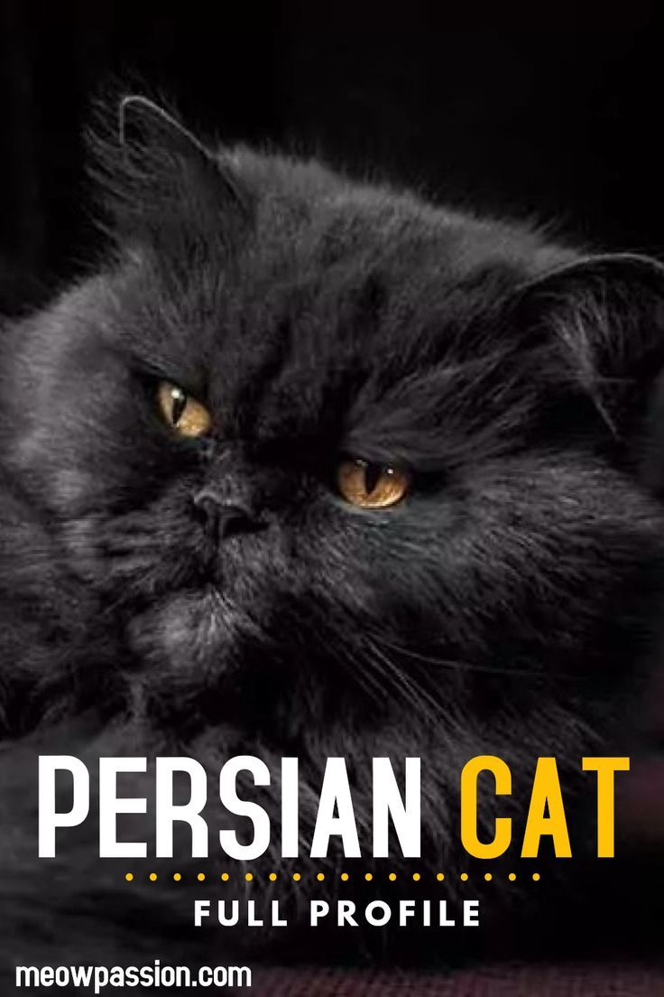 If you are considering to become a parent of the Persian cat find out more about their characteristics, history, care and health issues. Learn more what breeders of Persian cats recommend and why they think Persian cats are one of the sweetest feline friends. #persiancats #catbreedes #persiancatbreeders #cats #meowpassion