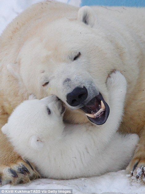 Polar bear Gerda plays with her baby Shila at a Russian ...