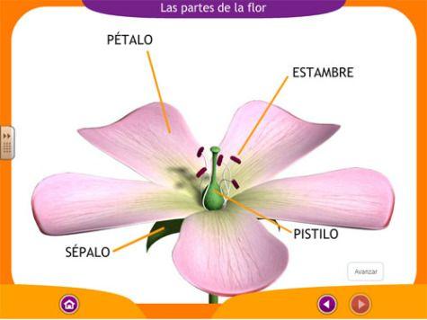 Partes de la Flor | informacion para lapbooks | Pinterest