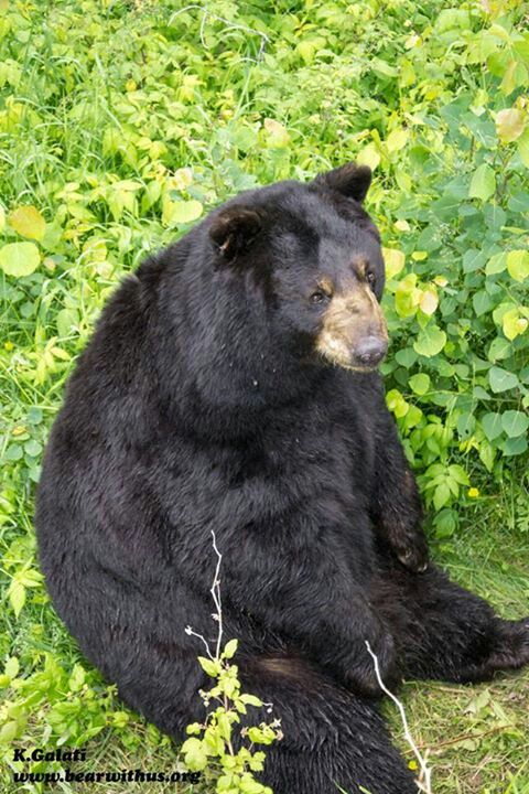 Black bear....had these in my back yard too. (With images ...