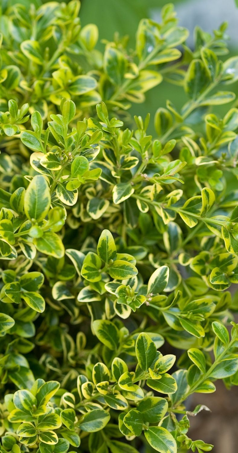 Wedding Ring is a hardy, compact boxwood with variegated