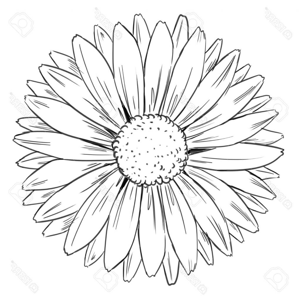 Picture Drawing Sunflower Line Drawing Sunflower Drawing