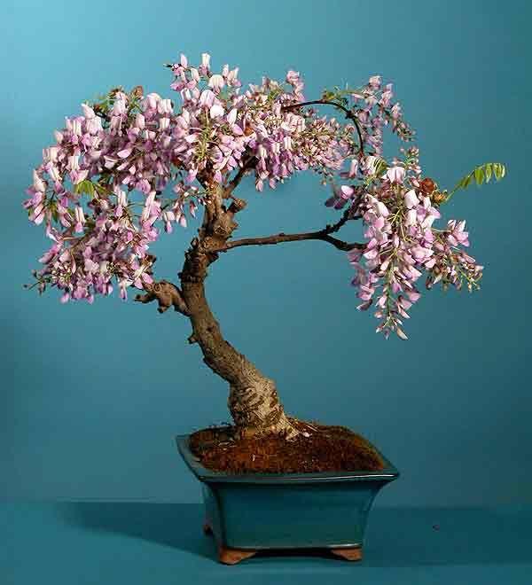 Bonsai Haus pin by catherine on bonsai bonsai wisteria