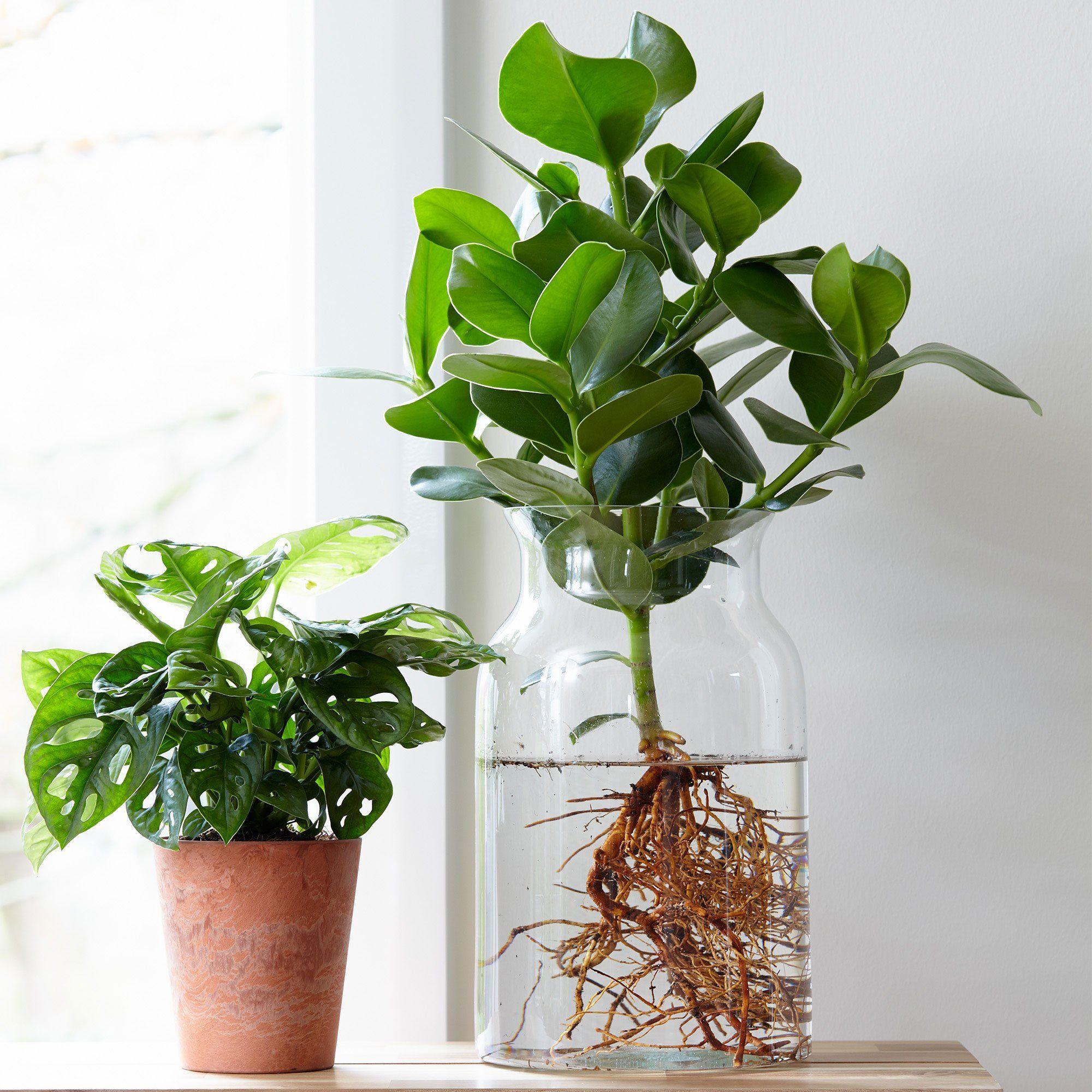 Buy house plants now Clusia 'Princess' incl. glass vase | Bakker.com