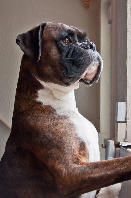 Harvey the Boxer