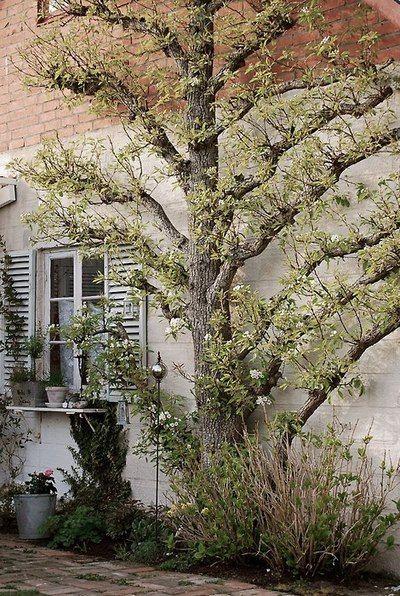 espaliered fruit tree - I like the little ledge on the window