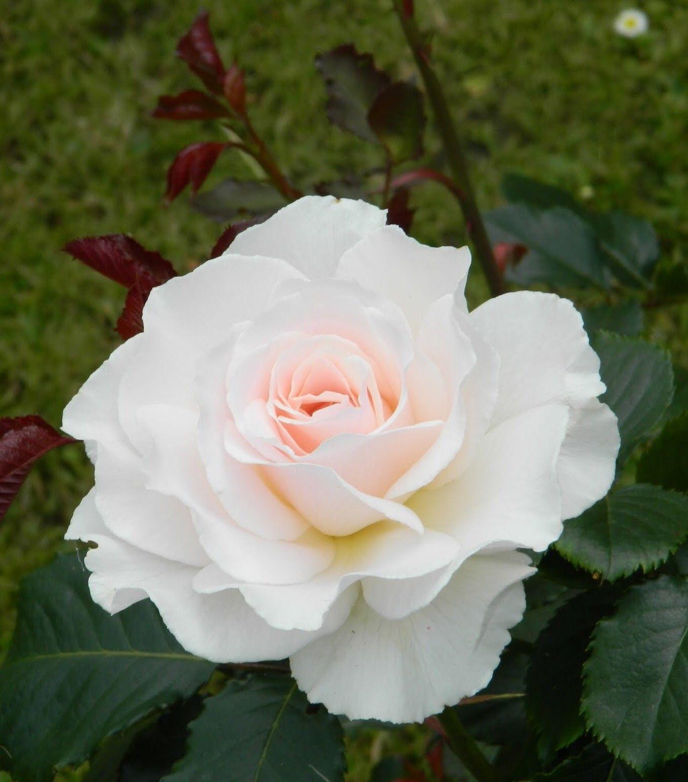 white beauty wadda pinterest fleurs langage des fleurs et jardins. Black Bedroom Furniture Sets. Home Design Ideas