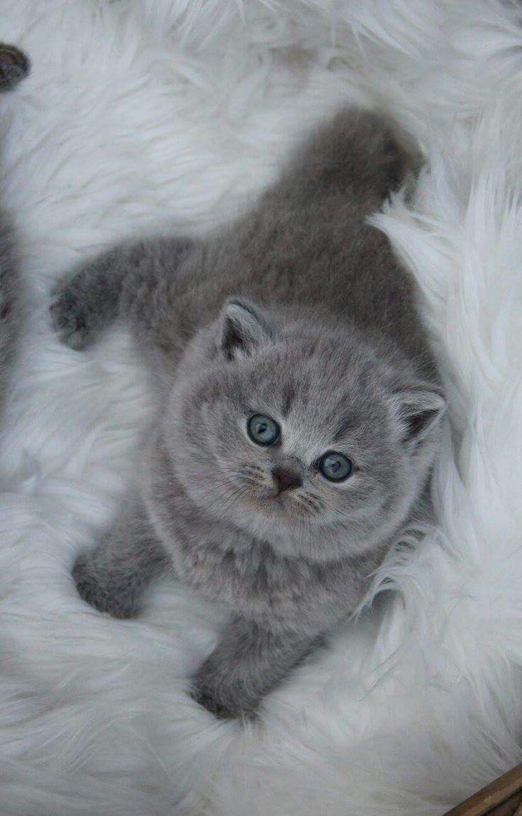 British short hair kitten british shorthair ideas of
