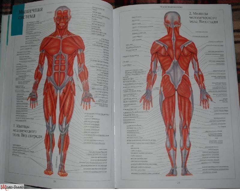 Атлас по анатомии человека скачать pdf