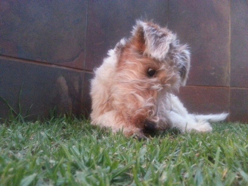 Wire Fox Terrier - What...is that a bug?