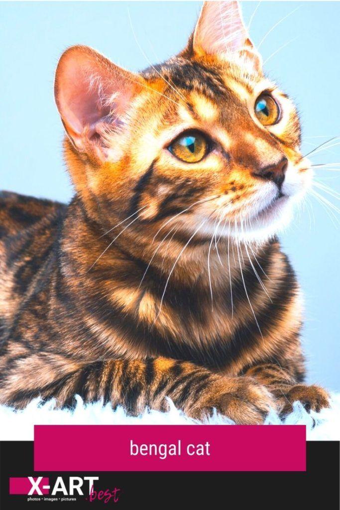 bengal cat breed bengal bengalcat cat kitten breeds