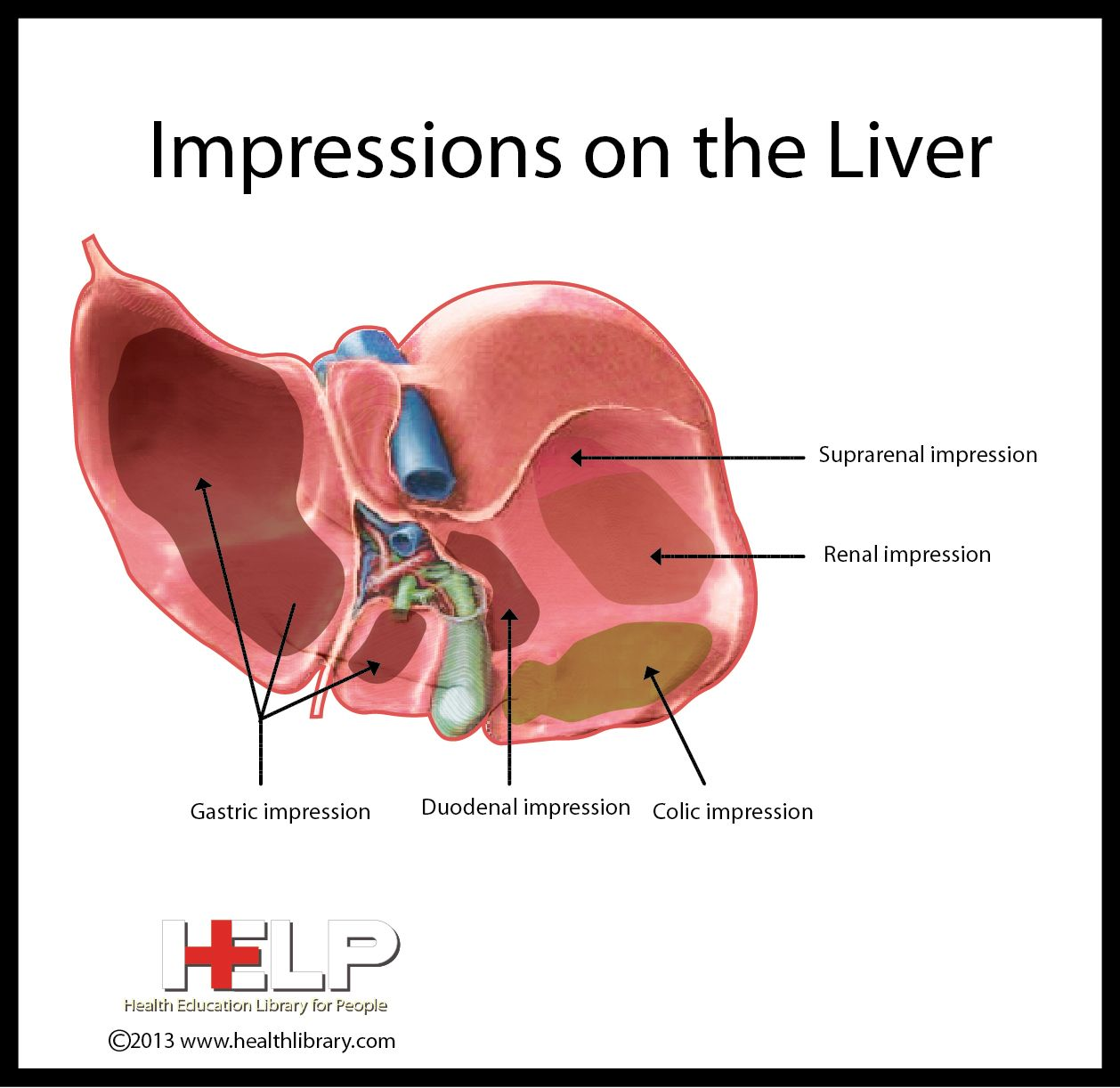 Impressions On The Liver | Gastrointestinal system, Liver, Physiology