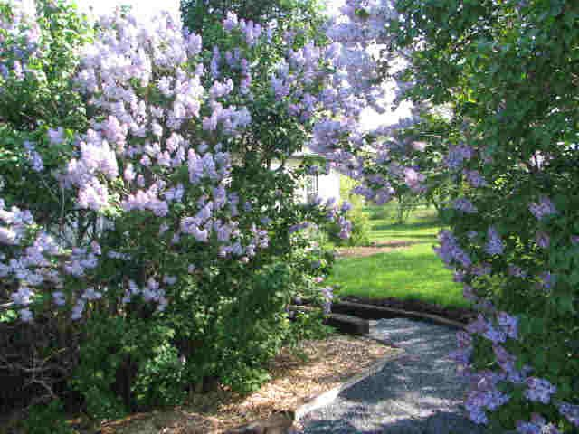 Burlington - Boasts the world's largest collection of lilacs. The Royal Botanical Gardens features more than 800 varieties of this fabulously fragant flower.