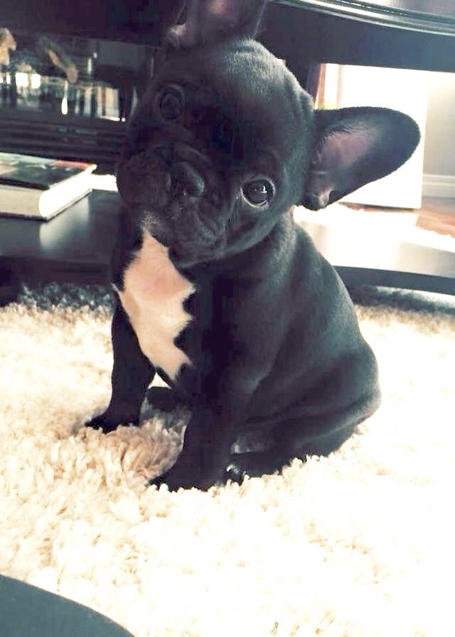 French Bulldog Puppy Hope Youre Doing WellFrom Your Friends - 20 ridiculously squishy dog cheeks that will make your day