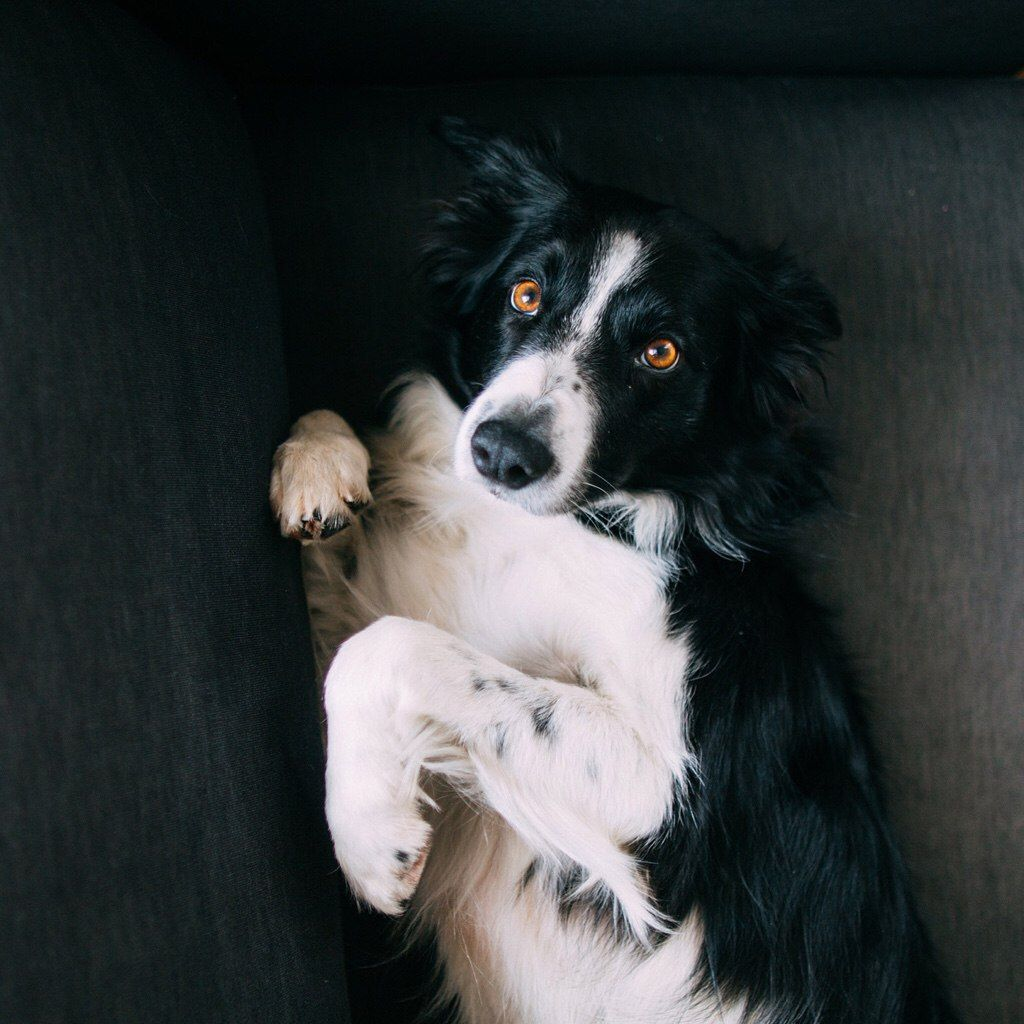 Pin by High Hopes on Dogs! Cute animals, Border collie