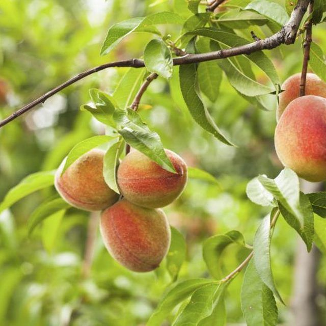 How To Grow Peach Trees In Florida Tree Care