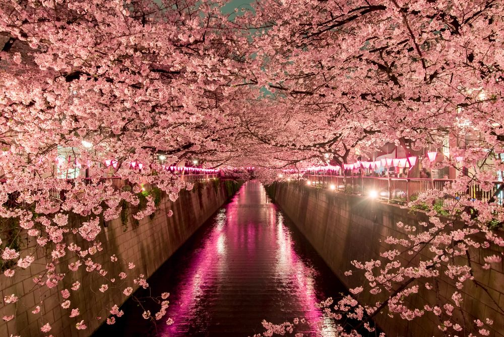 When To See Japan S Cherry Blossom Trees In Full Bloom Cherry Blossom Japan Japan Japan Cherry Blossom Season