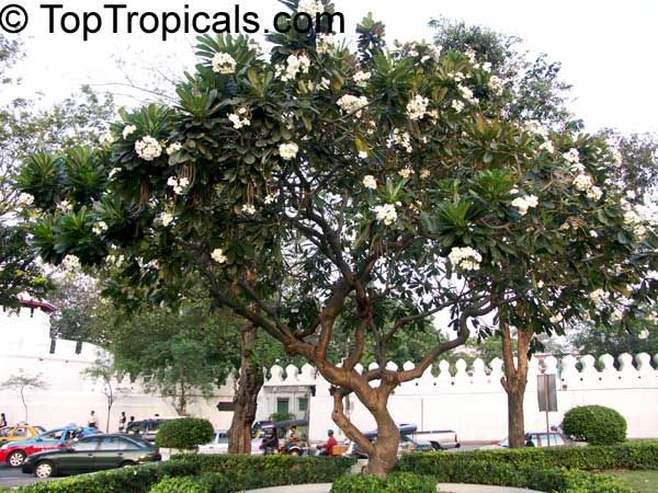 Plumeria Obtusa Singapore Plumeria Plumeria Tree Plumeria Garden Catalogs