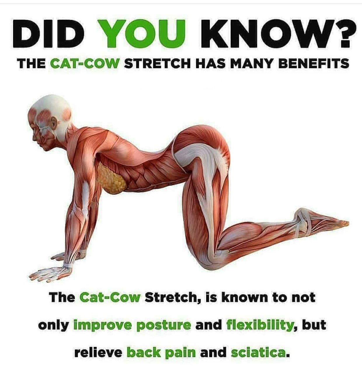 Cat Cow Pose Anatomy