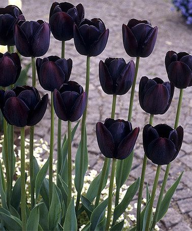 Another great find on #zulily! 'Queen of Night' Tulip Bulb - Set of 12 Equally at home in a rock garden, traditional beds, cut arrangements and more, these versatile tulips are a timeless addition to your display. The dark, stately color of these 'Queen of the Night' blooms is sure to turn heads. Grows to 4.7'' H and up Part shade Grown in the Netherlands #zulilyfinds