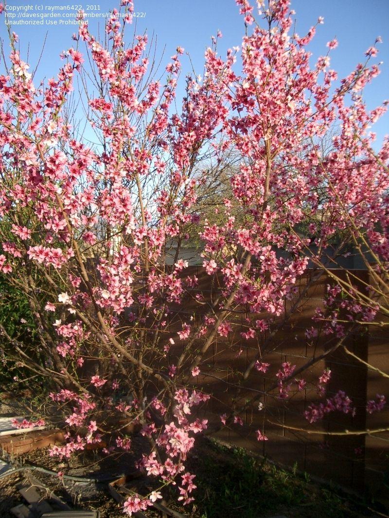Nectarine Panamint Fruit Tree 1 Flowering Trees Fruit Trees Fruit Garden