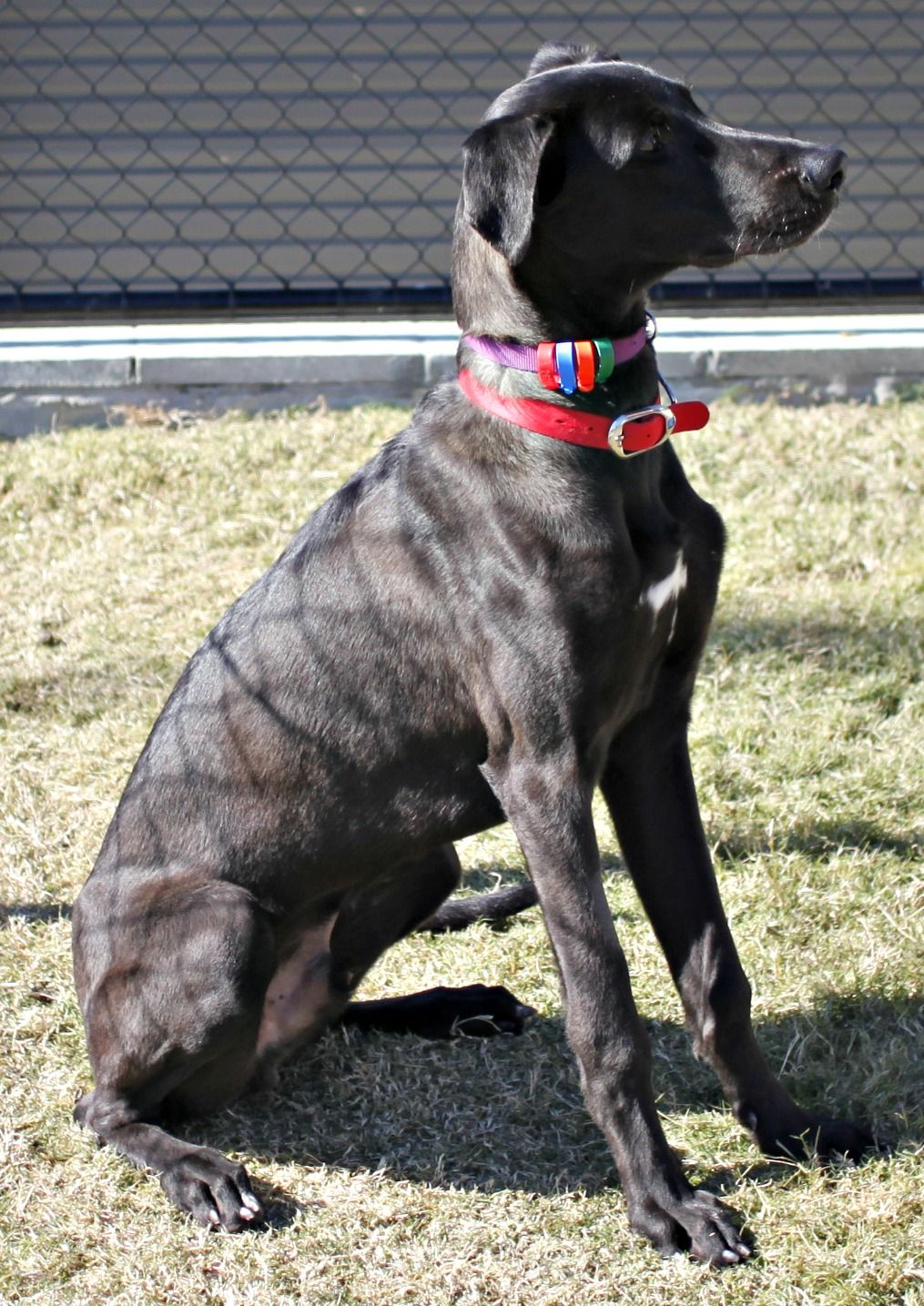 Scope Greyhound Cross Great Dane Dog Care Great Dane Puppy