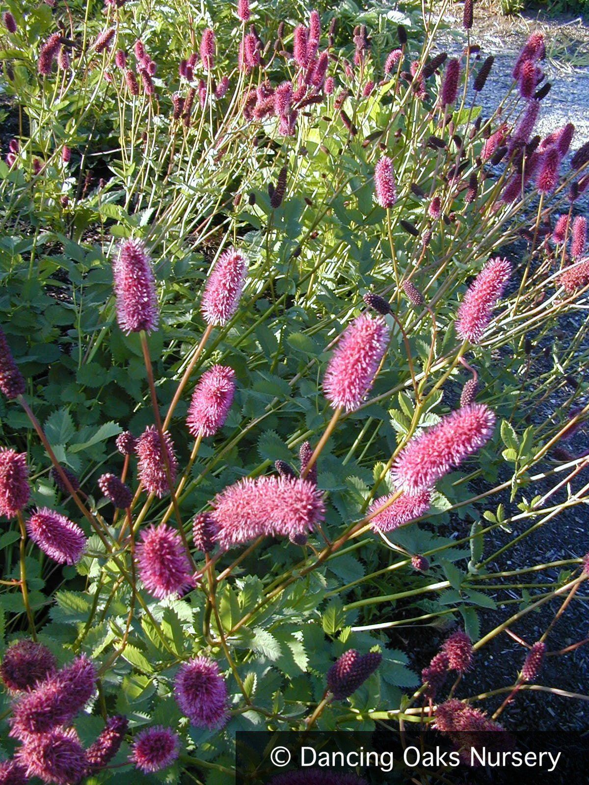 The unique red brush plant - what it treats and how to apply