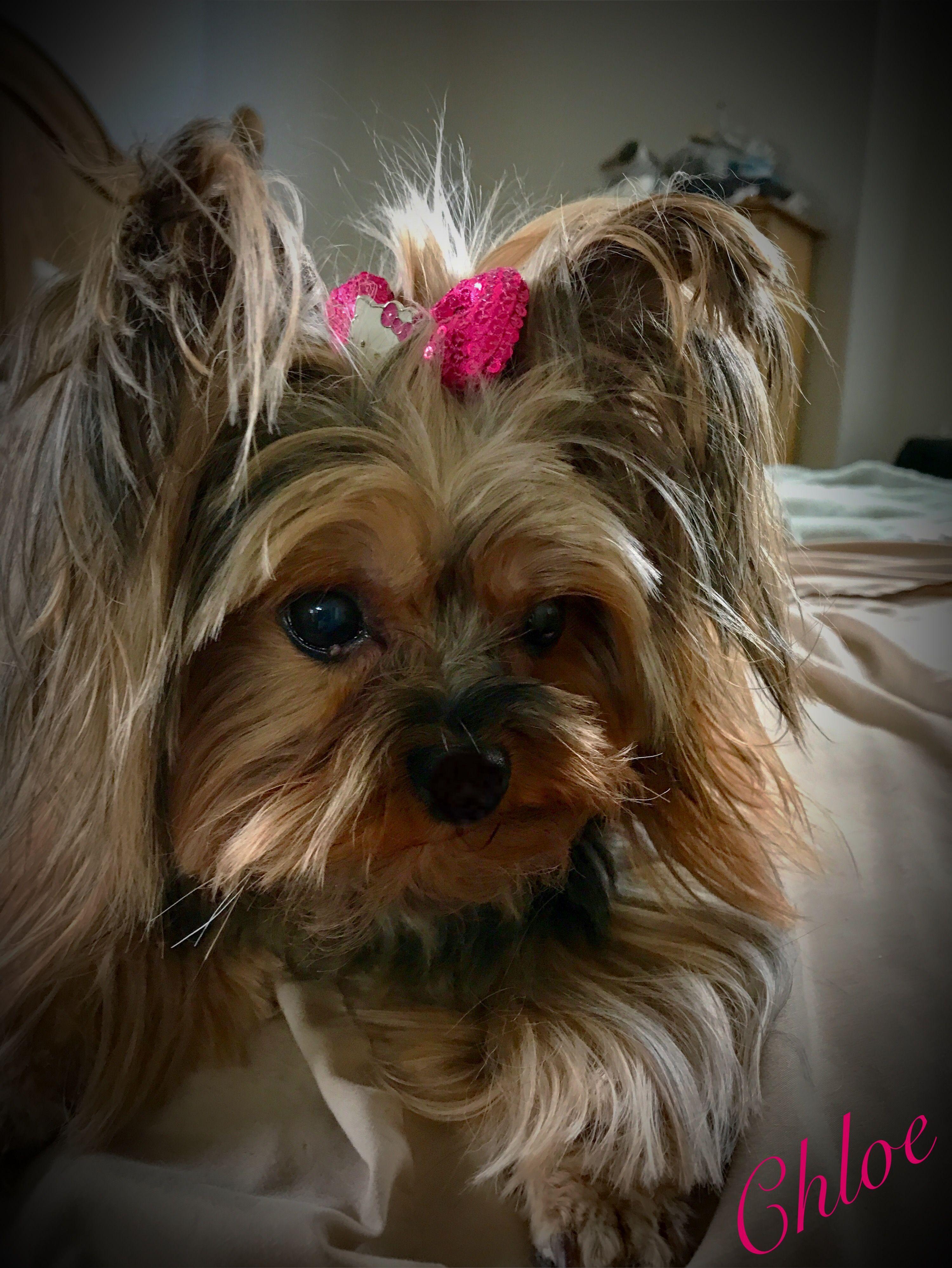 My live sweet teddy bear...Chloe💖 Yorkshire terrier