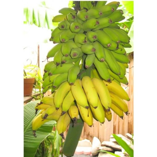 musa dwarf brazilian bananiers cannas hedychiums p pini re la maison du bananier. Black Bedroom Furniture Sets. Home Design Ideas