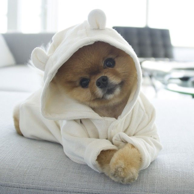 Jiff (jiffpom) #cutepuppies