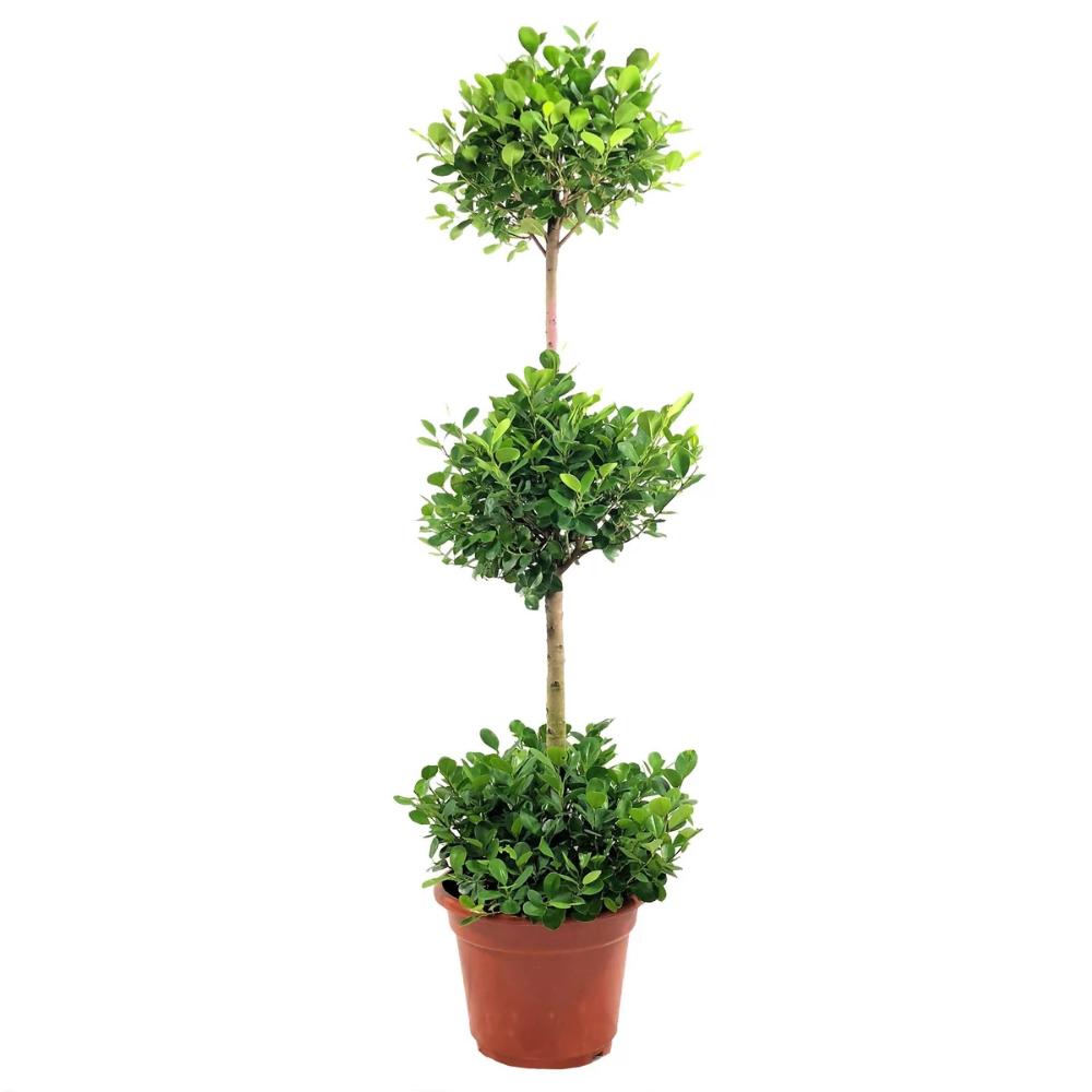 3 Layer Ficus microcarpa, Chinese Banyan (1.55m) Ficus