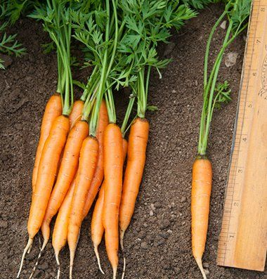 Buy Carrot Seeds Carrot Seeds How To Plant Carrots Carrots 640 x 480