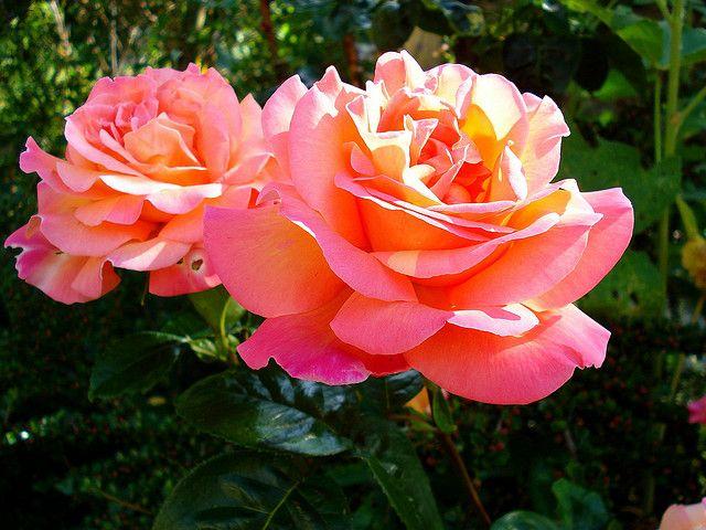 Salmon Colored Roses Orange Wedding Flowers Flowers Tulips Images