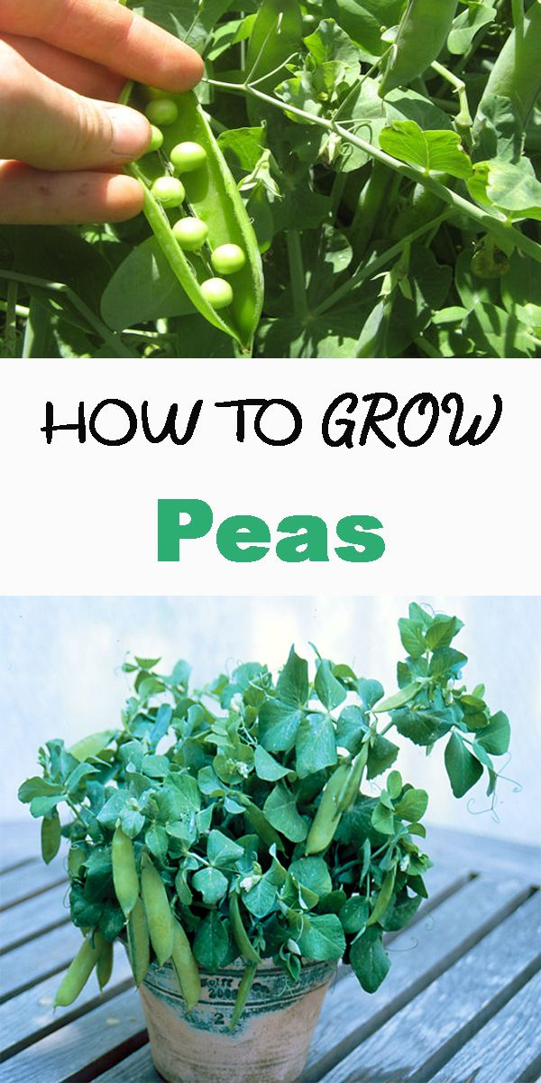 Photo of how to grow Peas