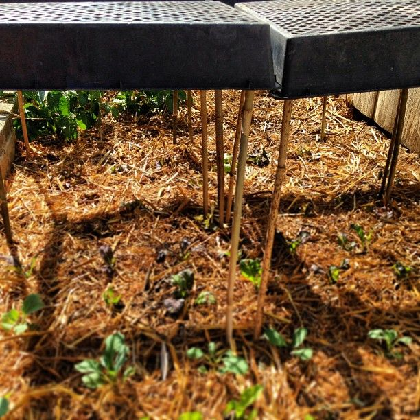 Bamboo stakes and planting flats used to provide shade to tender greens #urbanfarming