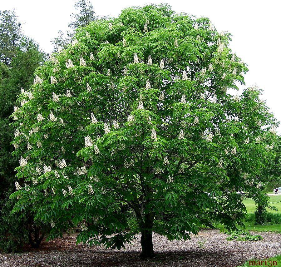 Japanese Horse Chestnut - Aesculus turbinata | Garden ...