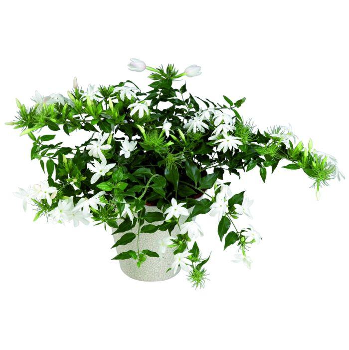 zimmerpflanzen die gl ck bringen pflanzenideen pinterest jasmin pflanze zimmerpflanzen. Black Bedroom Furniture Sets. Home Design Ideas