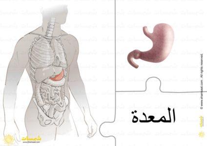 أعضاء الجسم الداخلية الأمعاء المعدة الكبد القلب الرئتين 5 Omar Art