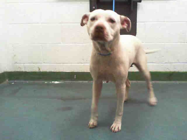Miami Dade Animal Services Fl At 305 884 1101 Lady Id A1653695 I Am An Unaltered Female White American Bulldog The Animals Humane Society Animal Shelter