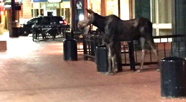 Moose on the loose in downtown Boulder, CO Pearl Street mall. was not at all fazed by police trying to shoo it away!