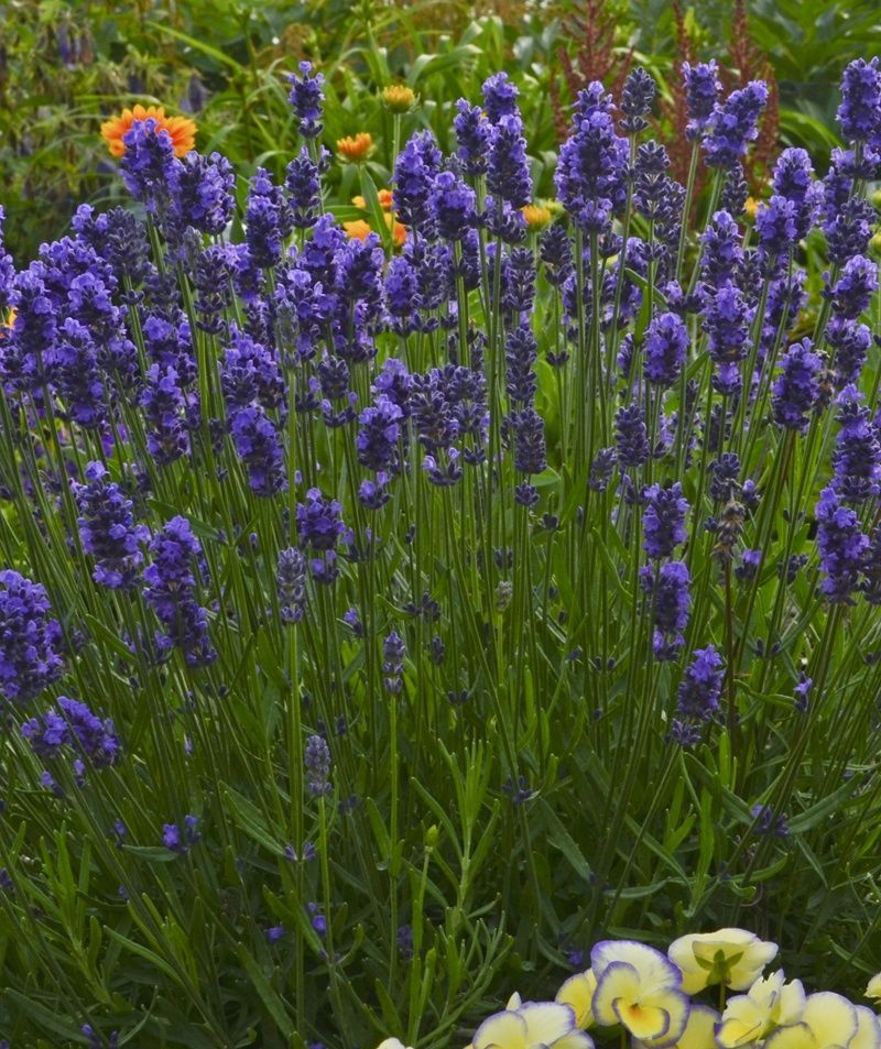 Here S A Beautiful Plant With A Wonderful Scent Lavender Has Been A Garden Treasure For Years And Sweet Romance Lavender Plants Lavender Seeds Fragrant Plant