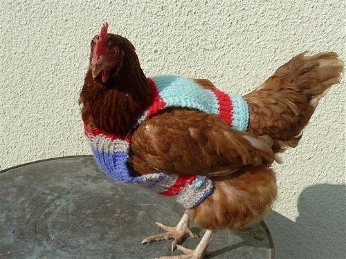 Knitting Pattern Hen Jumpers : Community Post: Chickens Wearing Sweaters BuzzFeed, Animal and Coops