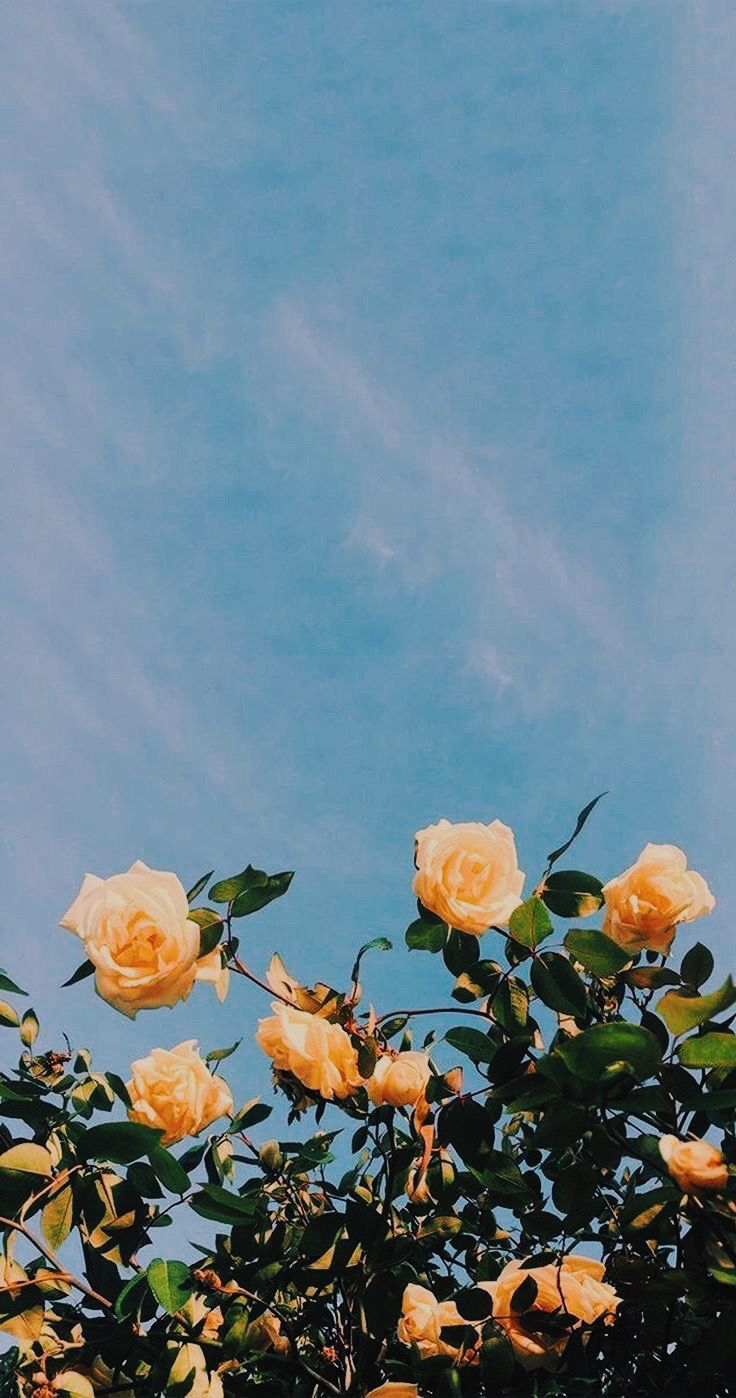 Yellow rose iPhone wallpaper Flower aesthetic, Aesthetic