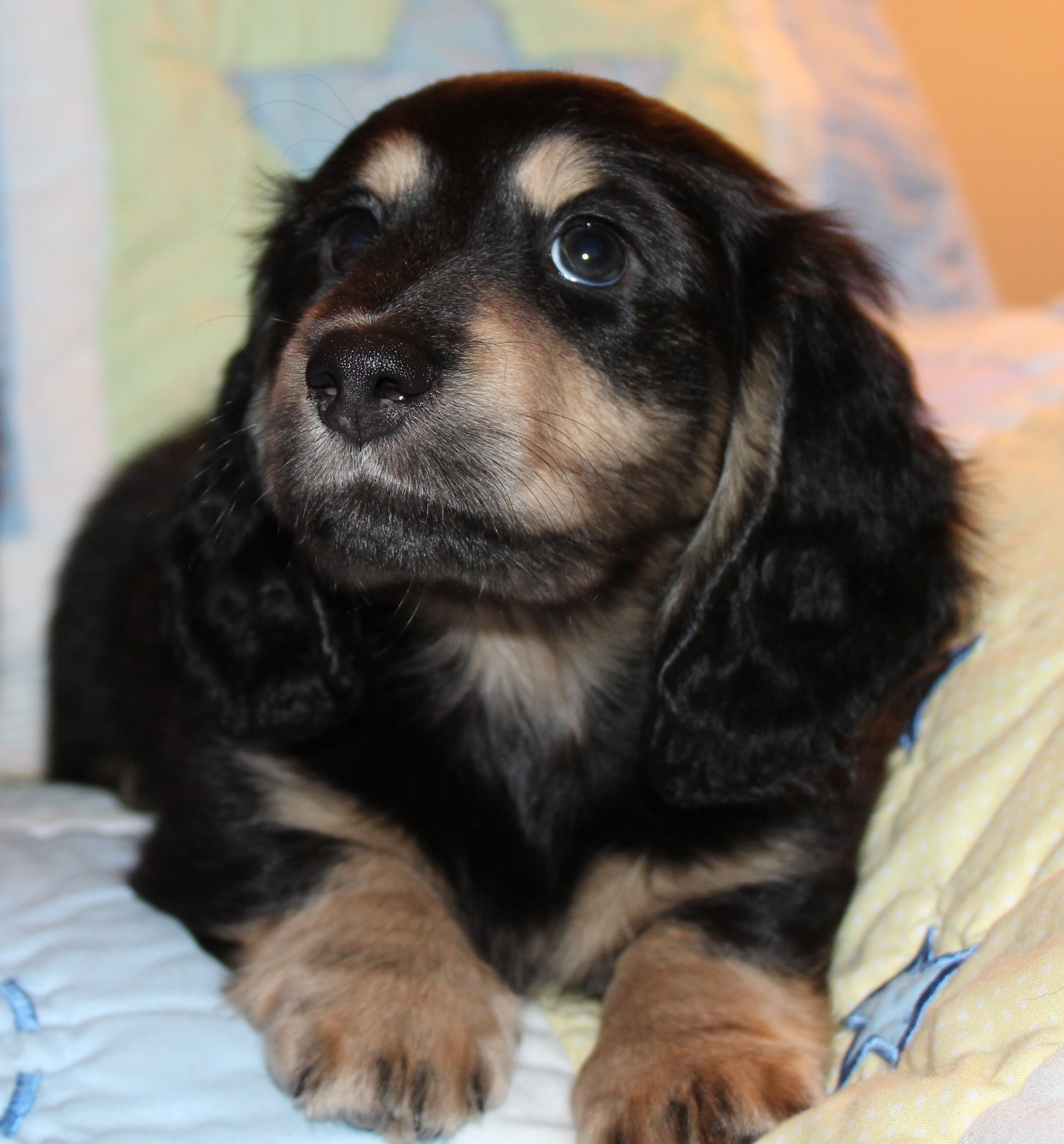 Black And Tan Long Haired Dachshund Akc Miniature Long Haired