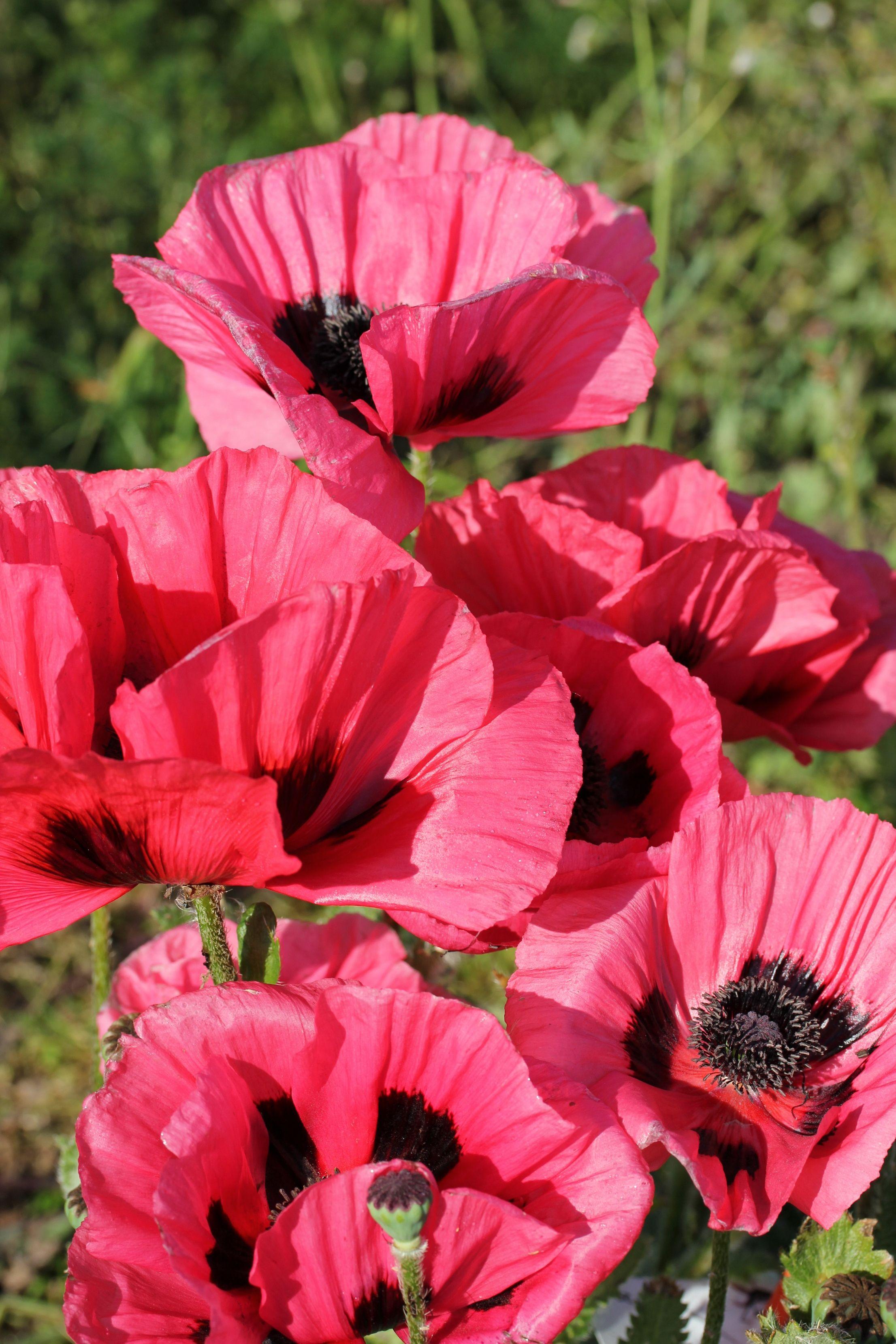 Oriental Poppy Raspberry Brulee Papaver Orientale Flowers