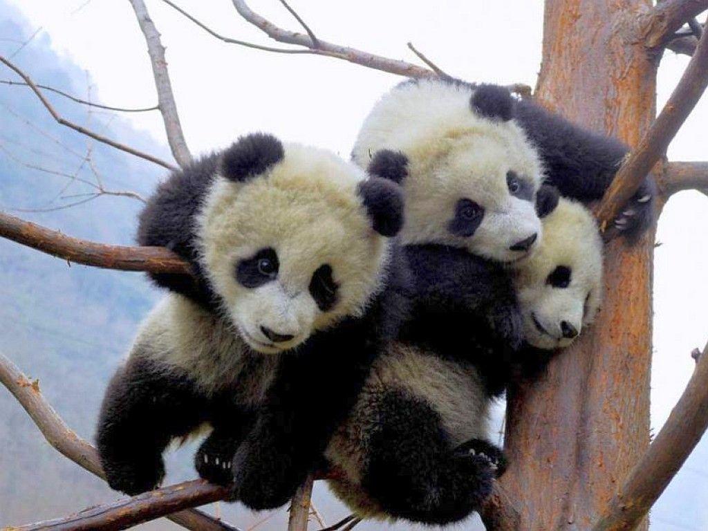 木の枝に登った赤ちゃんパンダ3兄弟