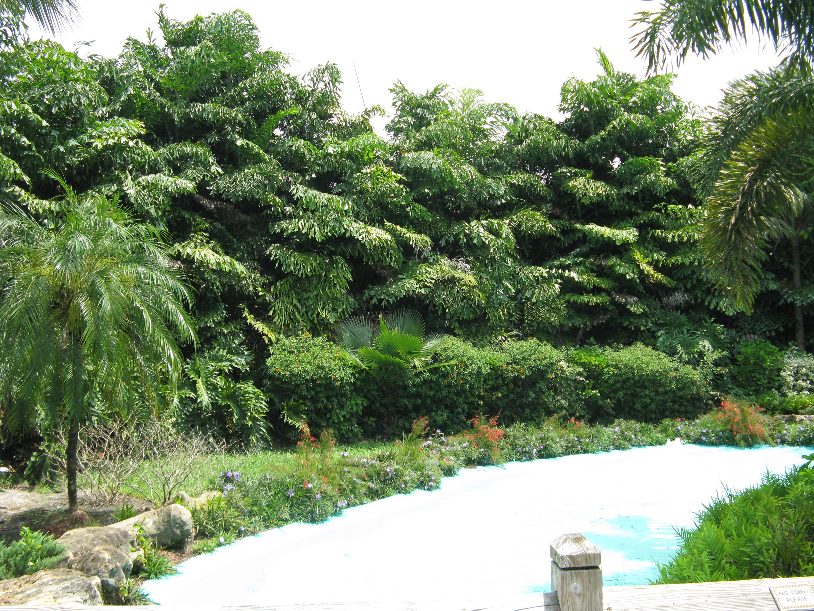 Fishtail Palms - planted as a screening backdrop. Hardy, resilient palm and  great for