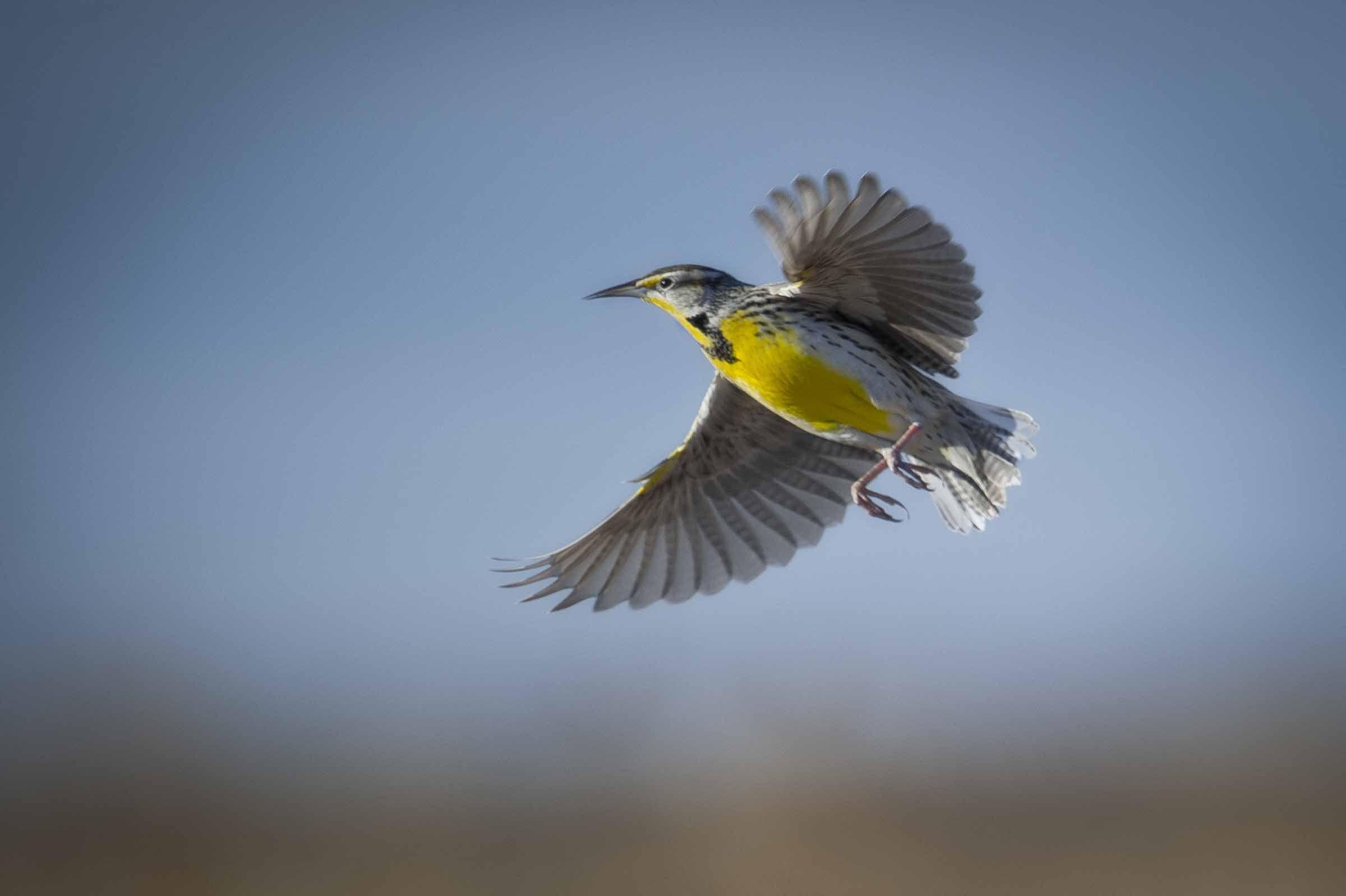meadowlark Western Meadowlark In Flight! » Jim Child