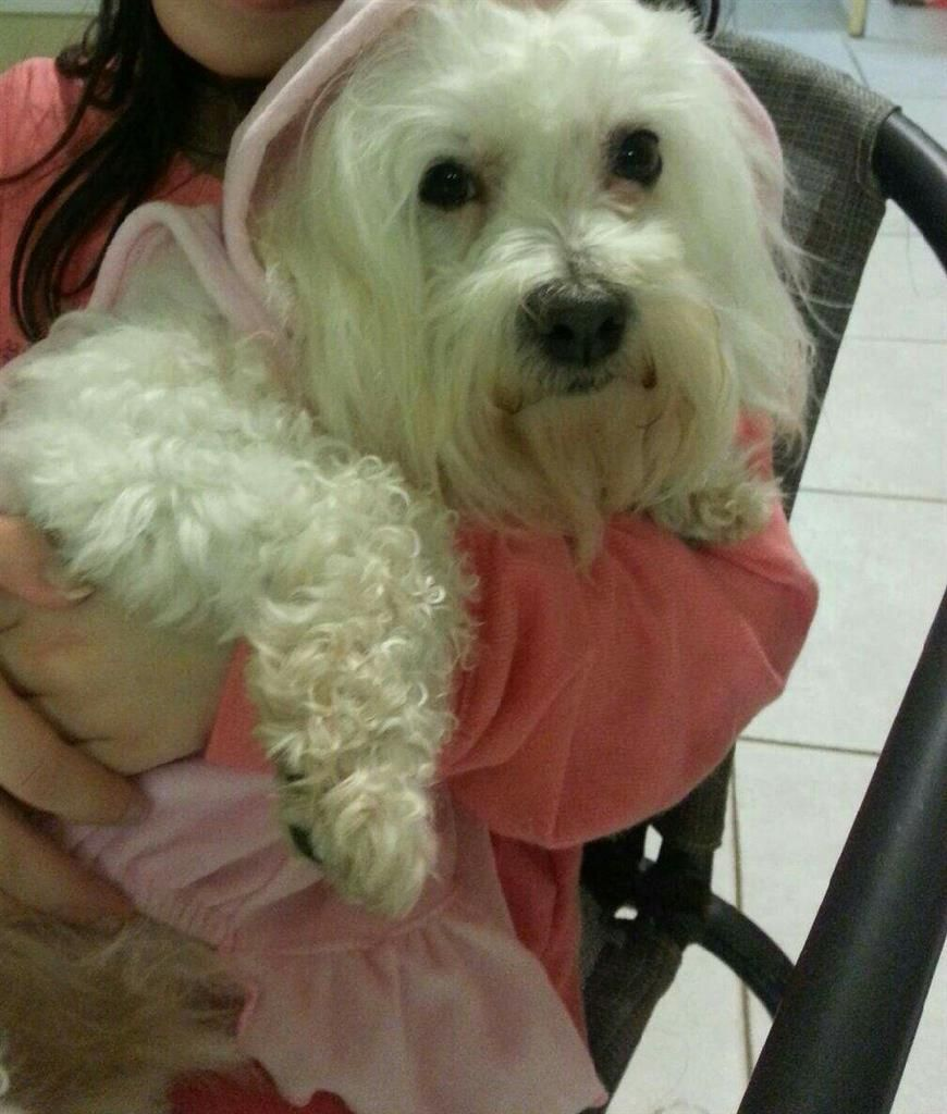 Lost Dog Maltese Boston Ma United States 02136 Submit See On